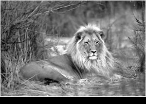 Der König der Tiere BOTSWANA